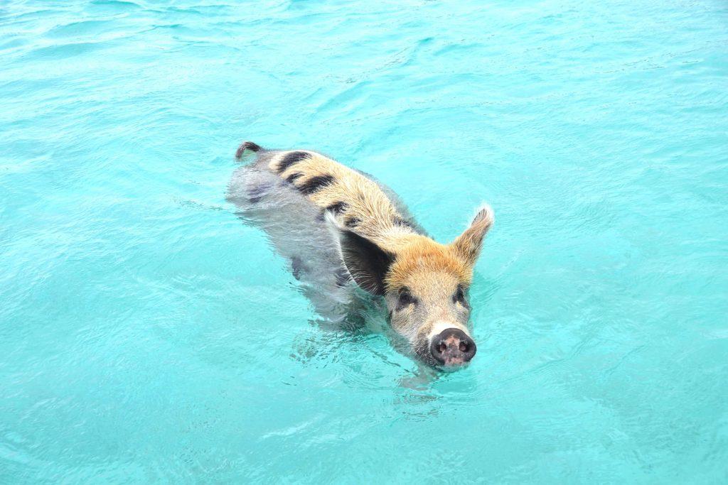 nageraveclescochons-bahamas